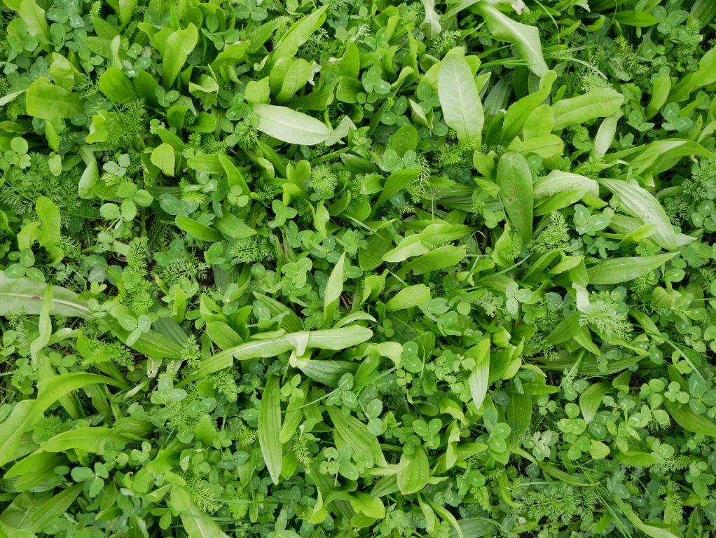 BUMA graslandkruiden