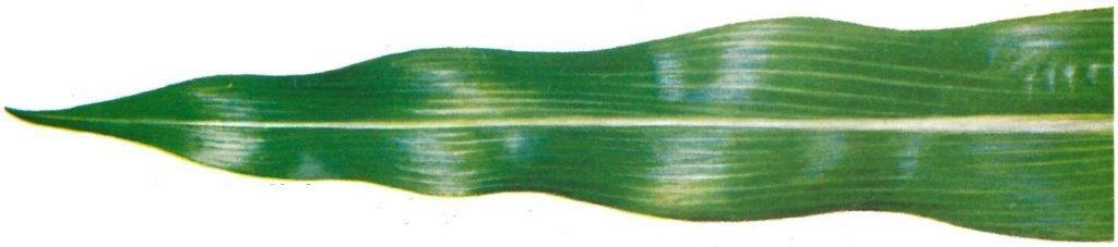 blad gezonde mais