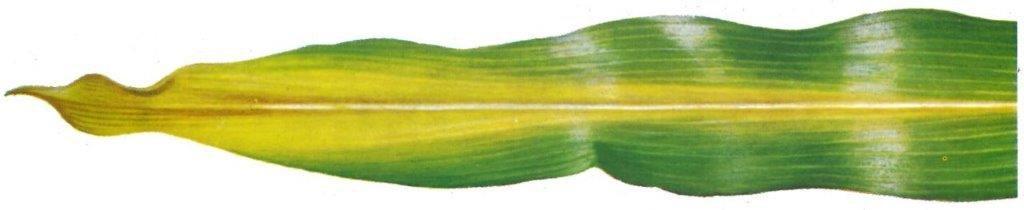 blad stikstofgebrek mais